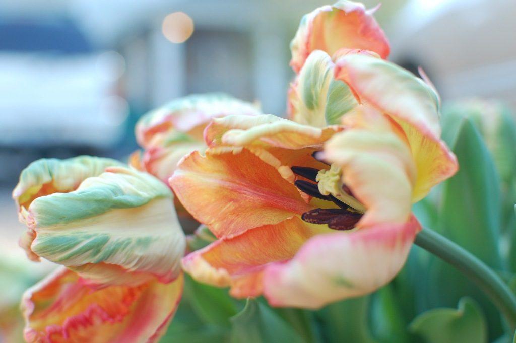 Apricot Parrot Tulip Grown By Dani Graham Of Dig It Flower Farm
