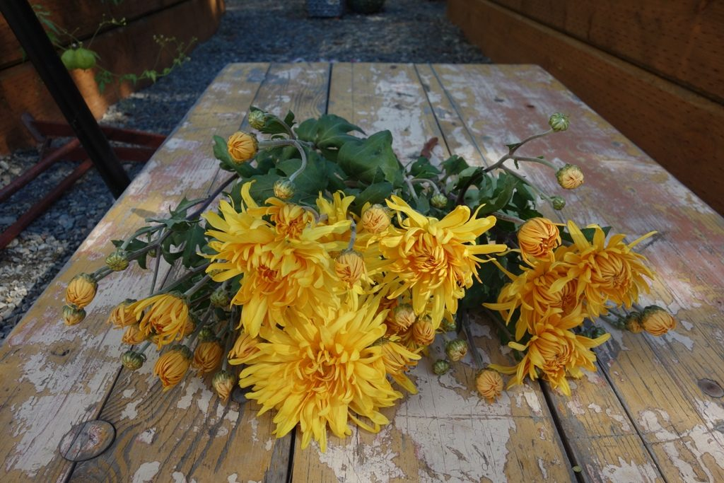 Its Mumtember Check Out The Best Mums For Cut Flowers
