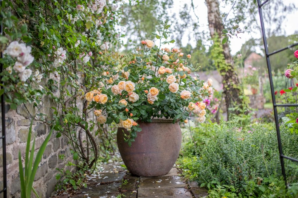 642567a1e91a65 David Austin English Rose  Roald Dahl  — beautiful as a container plant.