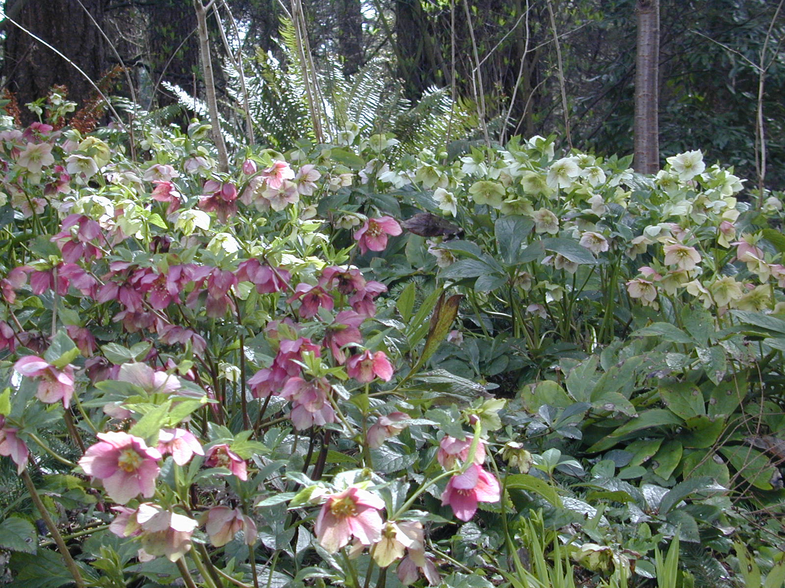 A Winter Tapestry Of Hellebores Slowflowers Journal